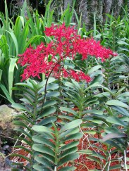 Renanthera-Singaporeans_1-wp