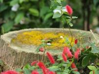 Acalypha pendula 'Firetail Chenille Plant'