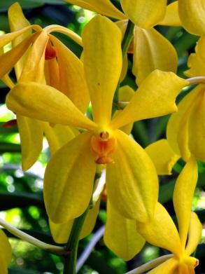 Aranda Jiti Gold