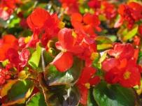 Begonia semperflorens 'Wax Begonia'