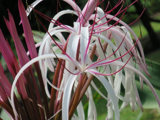 Crinum amabile 'Giant Spider Lily'