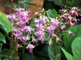 Dendrobium 'Khunying Boonruen'