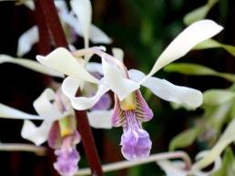 Dendrobium lasianthera hybrid (1)