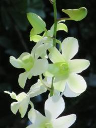 Dendrobium 'Shavin White'