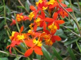 Epidendrum radicans 'Fire-Star Orchid'