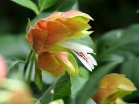 Justicia brandegeeana 'Shrimp Plant'