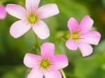 Oxalis corymbosa 'Pink Wood Sorrel'