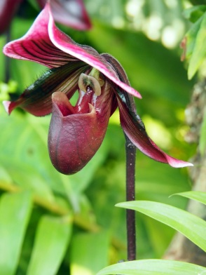 Paphiopedilum 'Lady Slipper Orchid'
