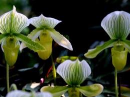 Paphiopedilum lawrenceanum hyeanum