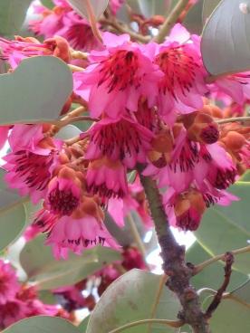 Rhodoleia championii 'Rhodoleia', 'Hong Kong Rose'