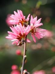 Amygdalus persica cv. 'Stellata'