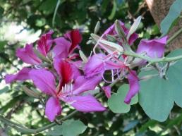 Bauhinia blakeana 'Hong Kong Orchid Tree'