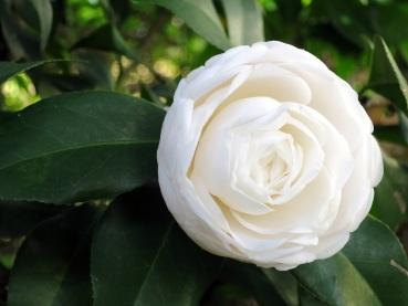 Camellia japonica 'Alba Plena Camellia'