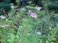 Catharanthus roseus 'Madagascar Periwinkle'