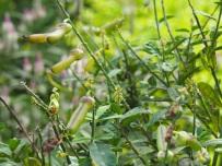 Crotalaria retusa (Rattlepod)