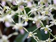 Dendrobium lasianthera hybrid