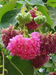 Dombeya wallichii 'Pink Ball Tree'