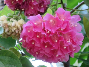 Dombeya wallichii 'Pink Ball Tree'
