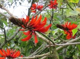 Erythrina variegata 'Coral Tree'