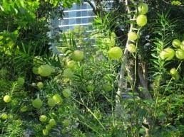 Gomphocarpus physocarpus 'Balloon Cotton-bush'