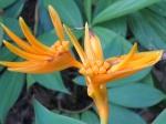 Heliconia psittacorum x H. spathocircinata 'Golden Torch'