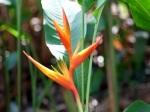Heliconia psittacorum x H. spathocircinata 'Tropic Fleur'
