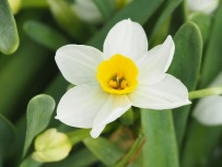 Narcissus tazetta L.