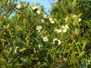 Polyspora axillaris 'Fried Egg Plant'