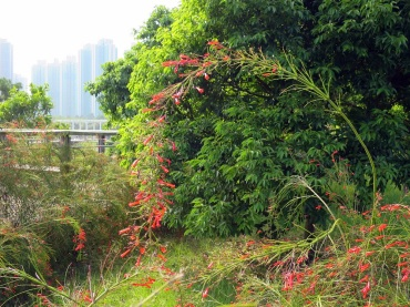 Russelia equisetiformis 'Firecracker Plant'