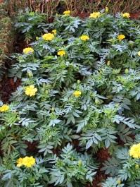 Tagetes patula 'French Marigold'