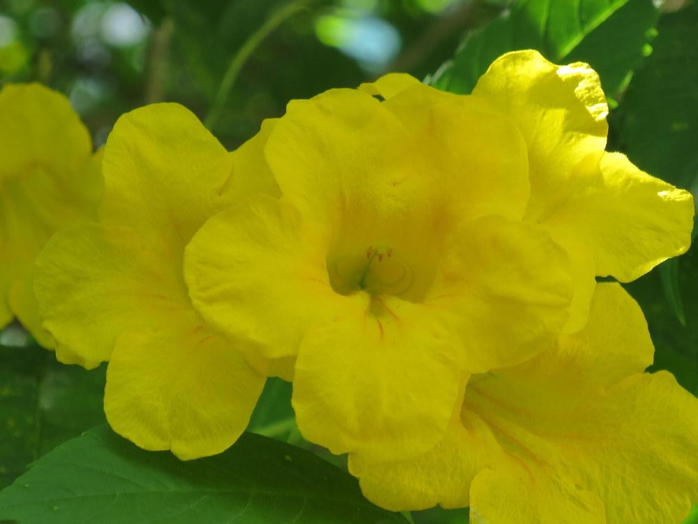 Tecoma stans 'Yellow Bells'