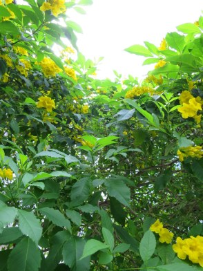 Tecoma stans 'Yellow Bells'