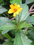 Wedelia trilobata (Sphagneticola trilobata) 'Trailing Daisy'