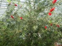 Callistemon viminalis 'Kings Park Weeping Bottlebrush'