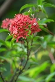 Carphalea kirondron 'Flaming Beauty'