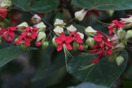 Clerodendrum thomsoniae 'Bleeding Heart Vine'