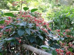Clerodendrum thomsoniae 'Bleeding Heart Vine'