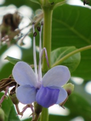 Clerodendrum ugandense 'Blue Butterfly Bush'