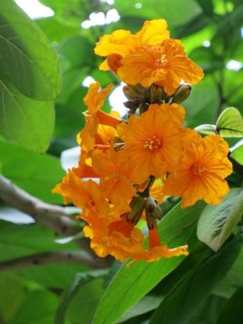 Cordia sebestena aurea 'Aurea' (Orange-Geiger Tree)