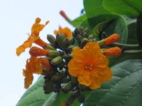 Cordia sebestena aurea 'Aurea' (Orange-Geiger Tree)
