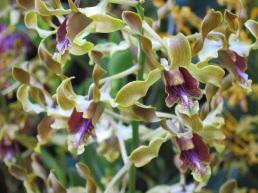 Dendrobium lasianthera hybrid (3)