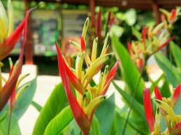 Heliconia psittacorum (Parrot's Flower)