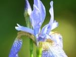 Iris longipetala (Coast Iris)