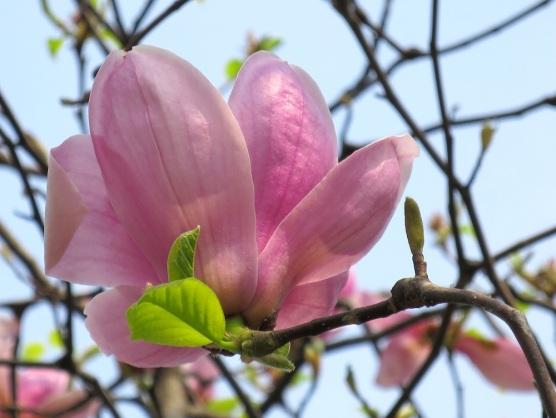 Magnolia liliiflora 'Lily Magnolia'