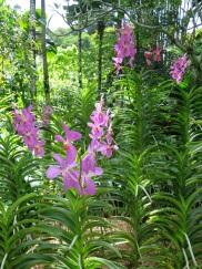 Mokara Chark Kuan (Pink)