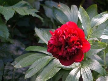 Paeonia lactiflora (Knighthood Peony)