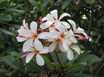 Plumeria rubra (Pink White Yellow)