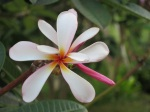 Plumeria rubra (Pink White Yellow)