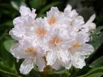 Rhododendron 'Hoppy'