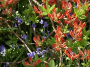 Rhododendron 'Lemonara'